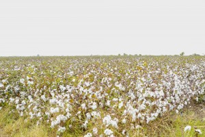 Ağdamın keçmiş təmas xəttinin sıfır nöqtəsində yerləşən kəndlərində pambıq yığımına başlanıldı