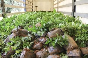 Masallıda yeni çay plantasiyaları salınıb