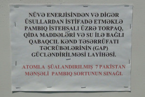 Azərbaycanda nüvə enerjisi tətbiq olunan pambıq toxumlarından yüksək nəticə əldə olunub